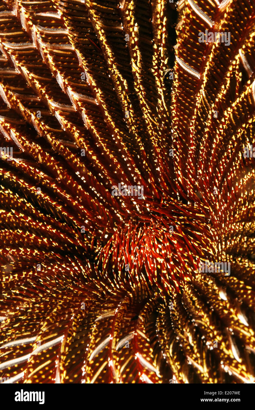 Red and White Feather Star (Amphimetra sp.), detail, Sabang Beach, Puerto Galera, Mindoro, Philippines - Stock Image