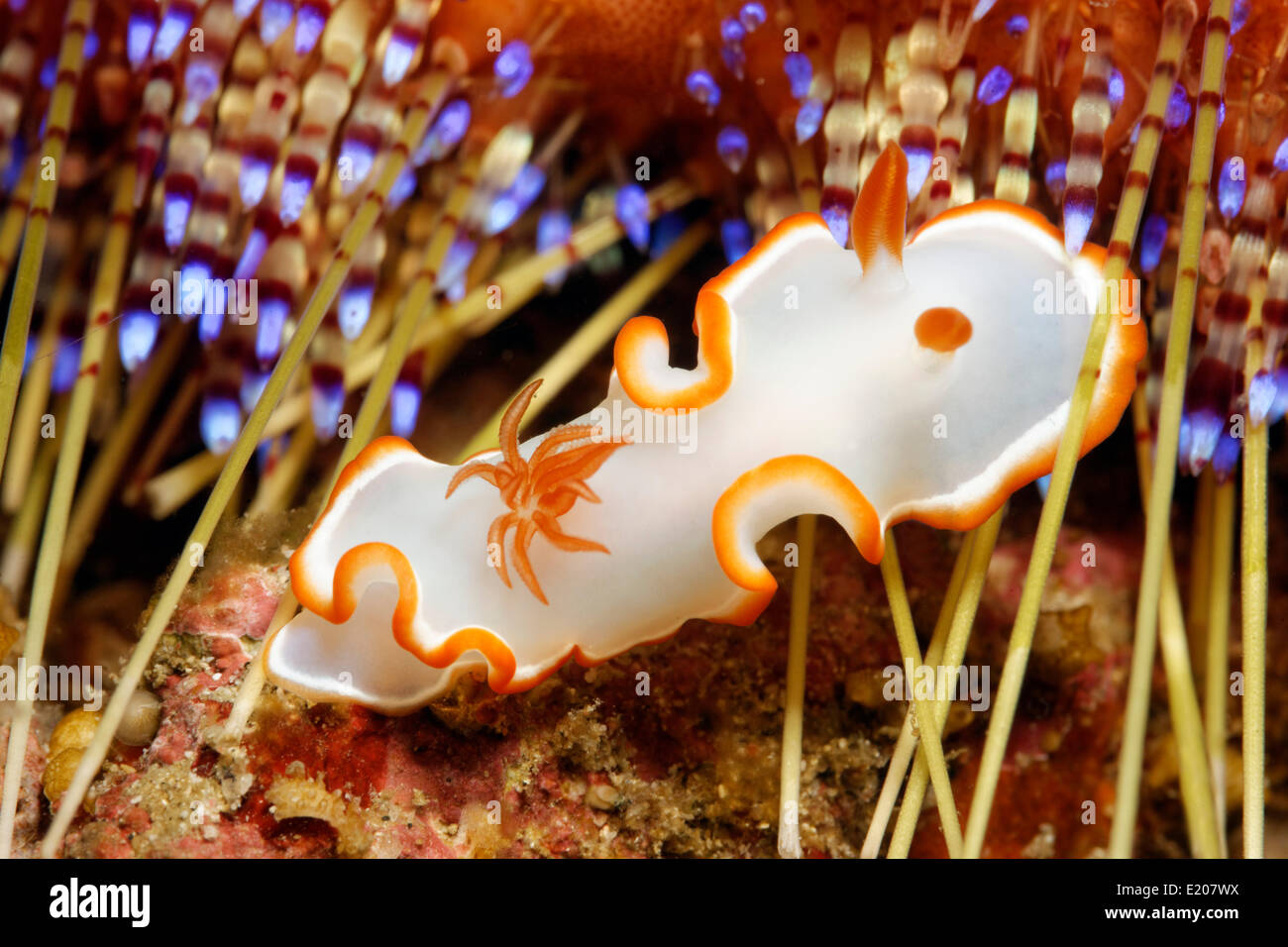 Glossodoris Nudibranch (Glossodoris Averni), with spines of a sea urchin, Sabang Beach, Puerto Galera, Mindoro, - Stock Image