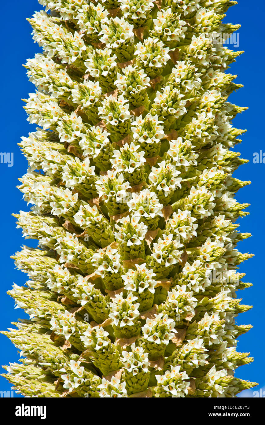 Queen of the Andes (Puya raimondii), part of an inflorescences about 8m high, highest inflorescence in the world Stock Photo