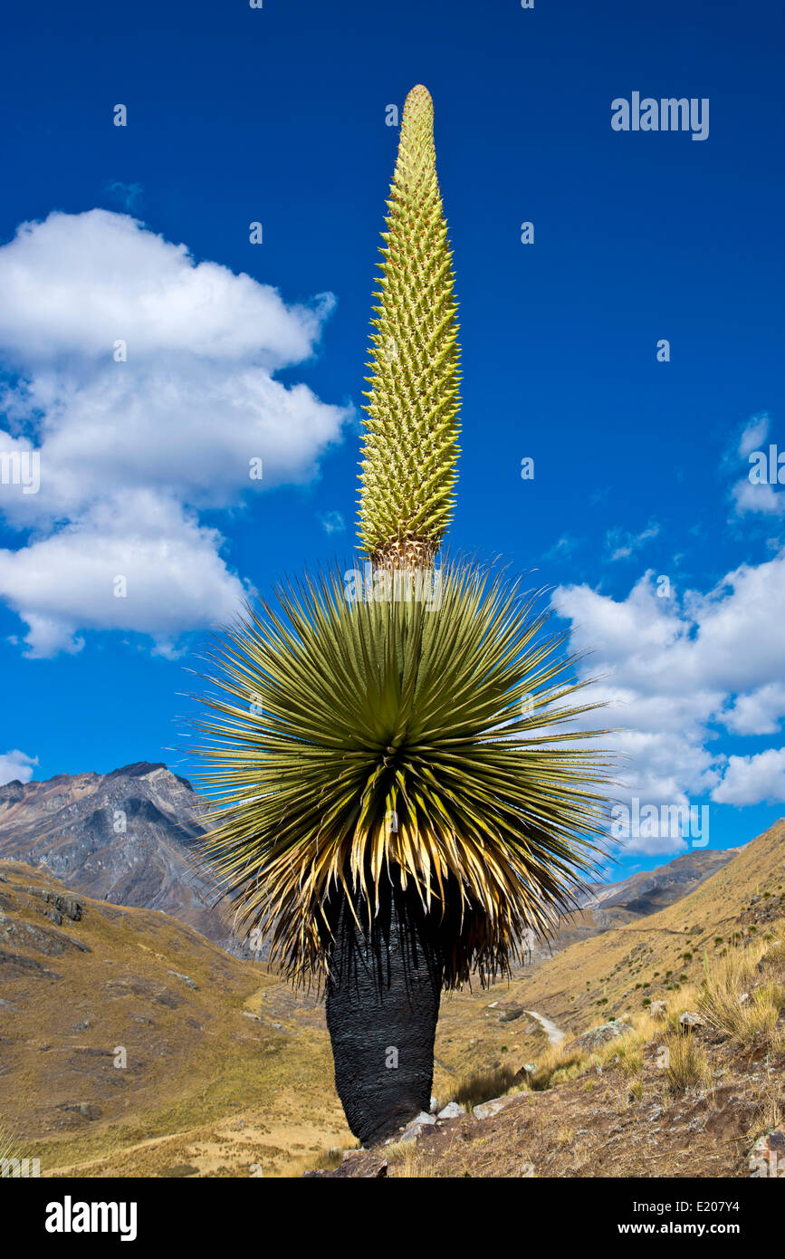 Queen of the Andes (Puya raimondii), inflorescences about 8m high, highest inflorescence in the world, national Stock Photo