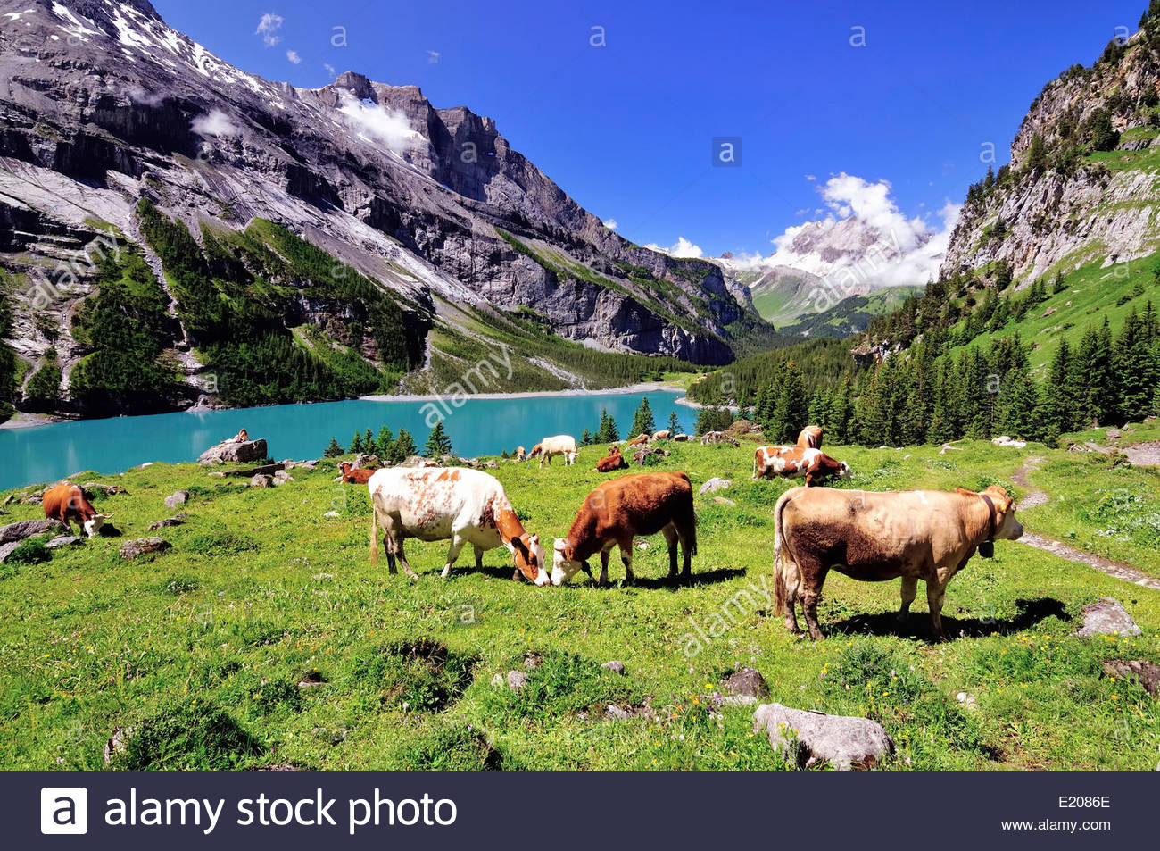 Grazing cows on Oeschinensee, UNESCO World Heritage Site, Kandersteg, Canton of Bern, Switzerland - Stock Image