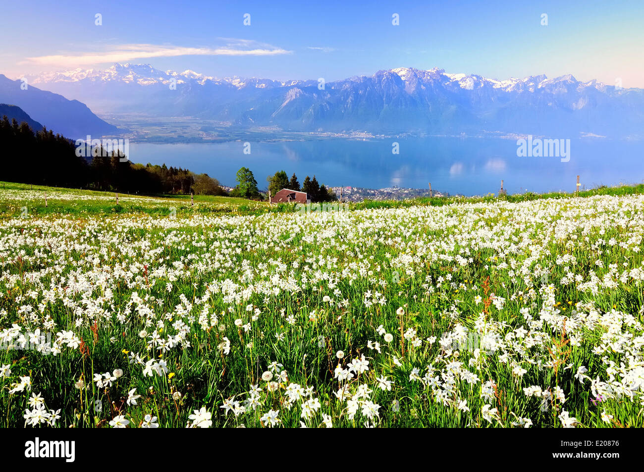 Meadow with white daffodils at Lake Geneva, Mt Dents du Midi at the back, Montreux, Canton of Vaud, Switzerland - Stock Image