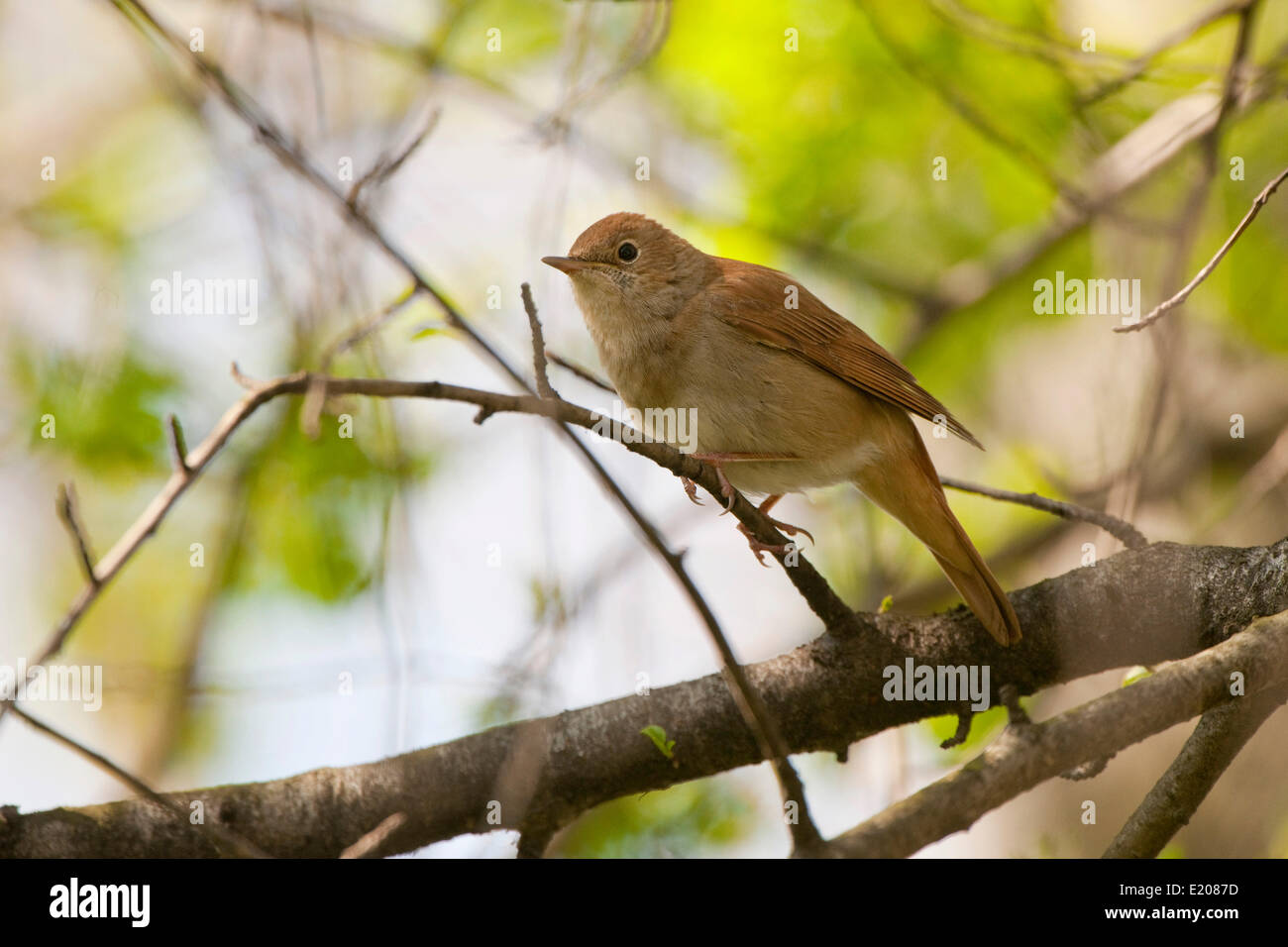 Nightingale (Luscinia megarhynchos), Thuringia, Germany - Stock Image