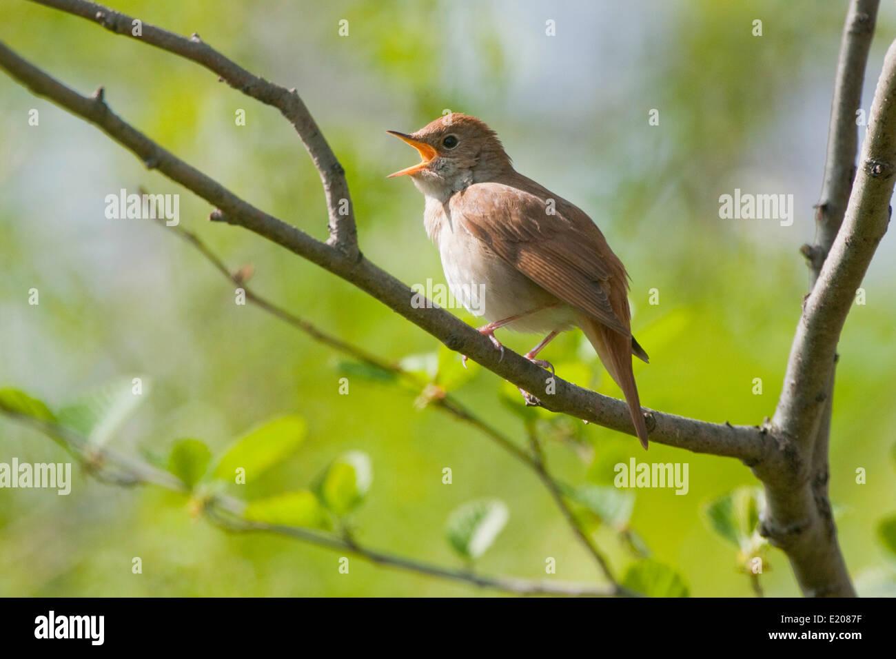Nightingale (Luscinia megarhynchos), singing, Thuringia, Germany - Stock Image