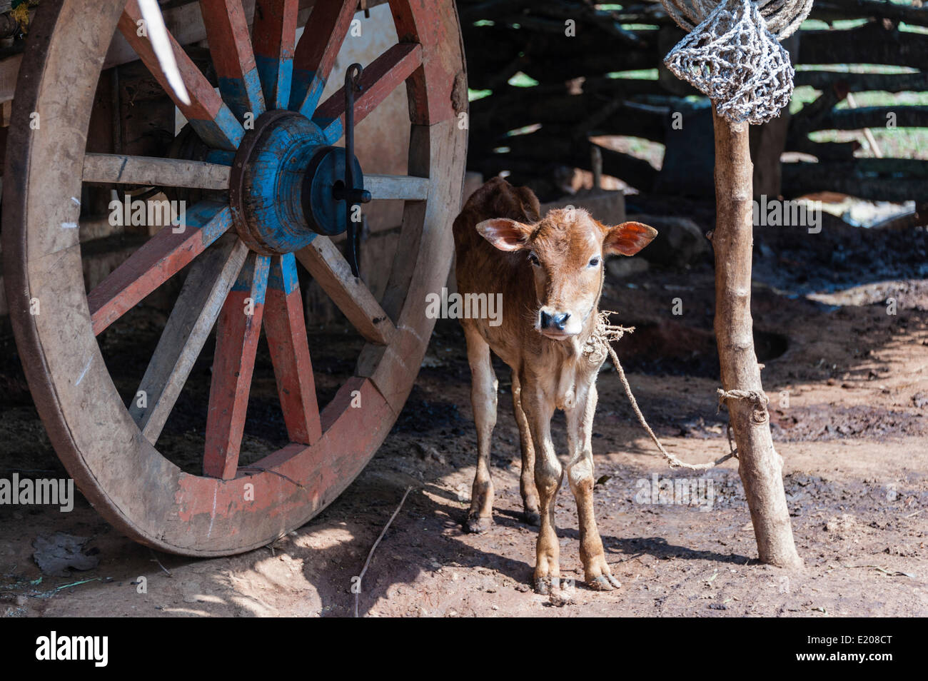 Calf, tied up, India - Stock Image