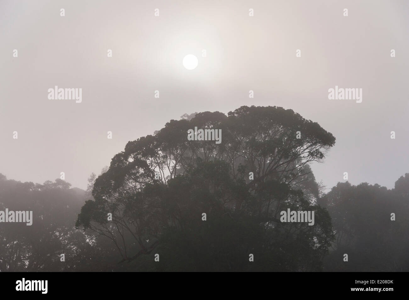 Jungle in the mist, silhouettes of trees, Periyar Dam, Thekkadi, Tamil Nadu, India - Stock Image