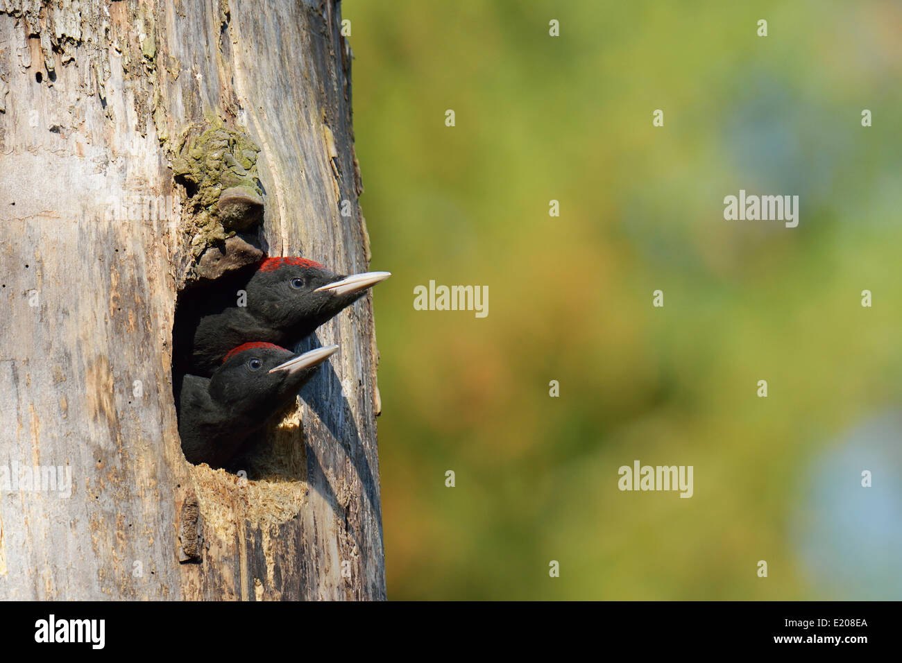 Two Black Woodpeckers (Dryocopus martius), young birds, looking out of the nest hole, Biebrza National Park, Poland - Stock Image