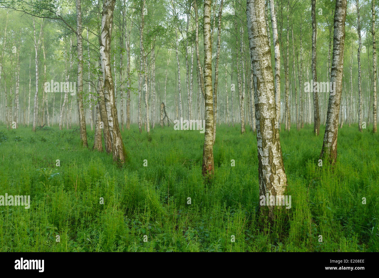 Forest of Downy Birch or White Birch (Betula pubescens) in a light mist, Biebrza National Park, Poland - Stock Image