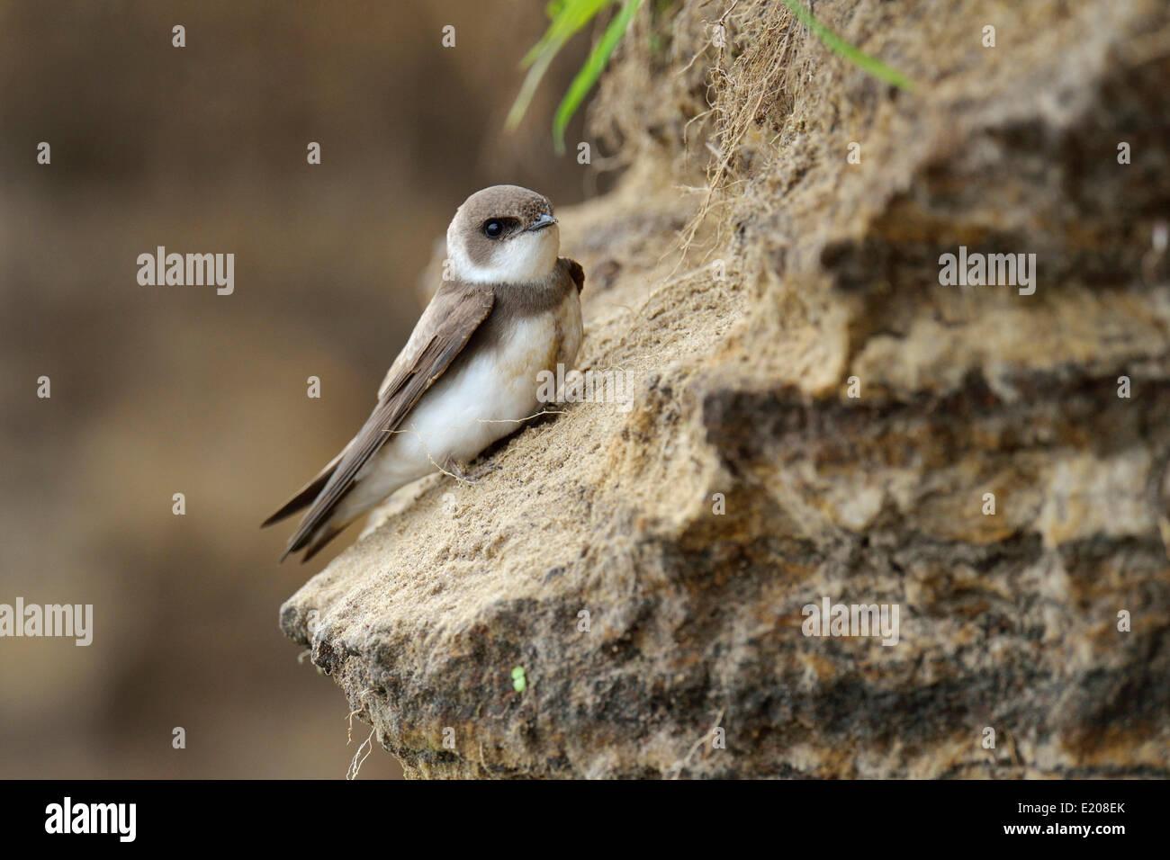 Sand Martin (Riparia riparia), Poland - Stock Image