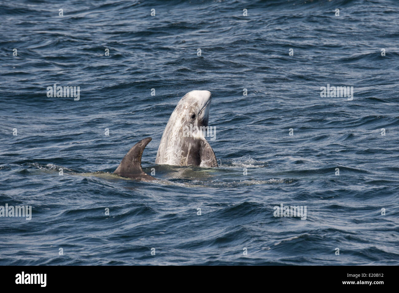 Risso's Dolphin (Grampus griseus) spyhopping. Monterey, California, Pacific Ocean. - Stock Image