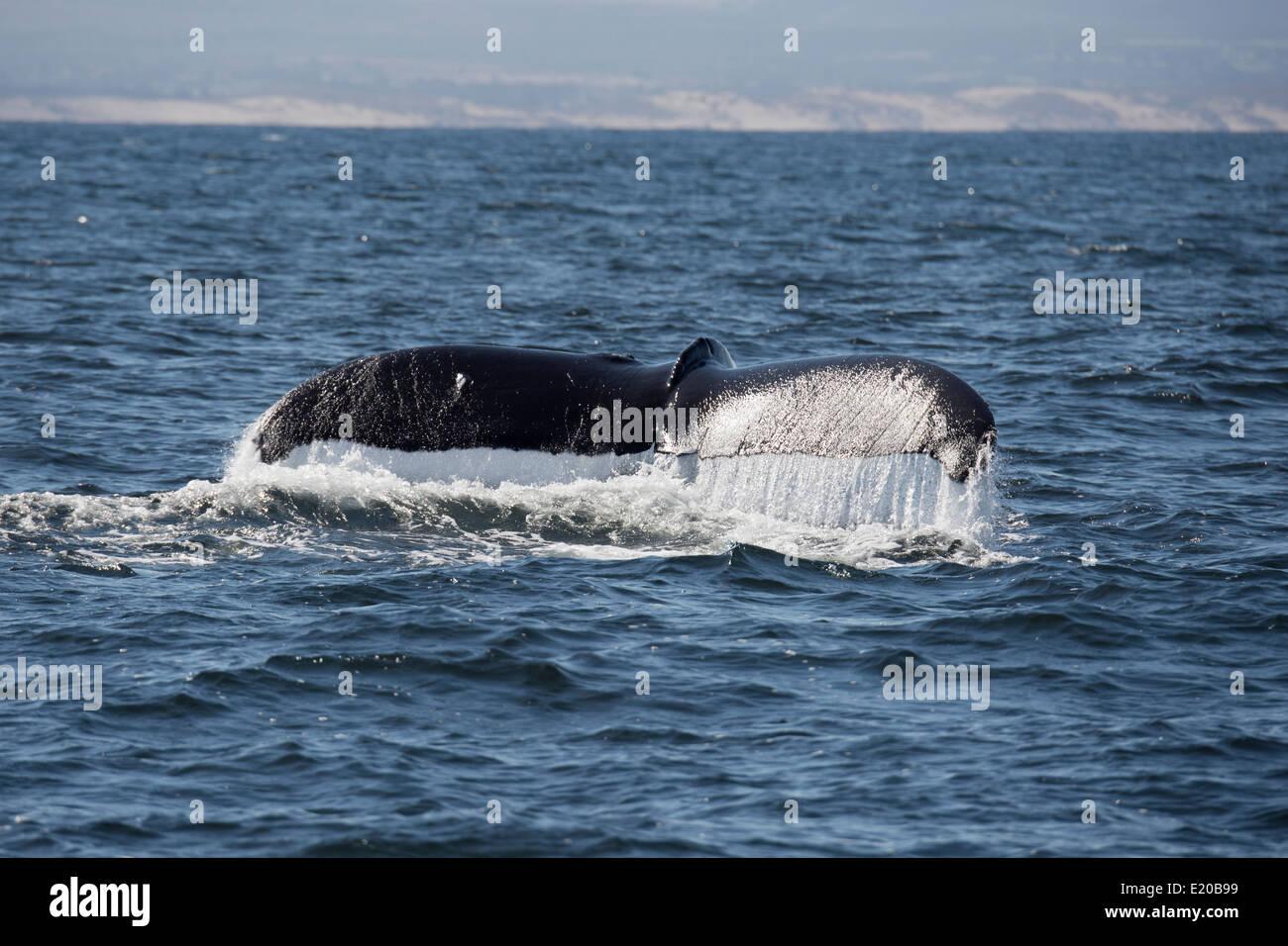 Humpback Whale (Megaptera novaeangliae) fluking. Monterey, California, Pacific Ocean. - Stock Image