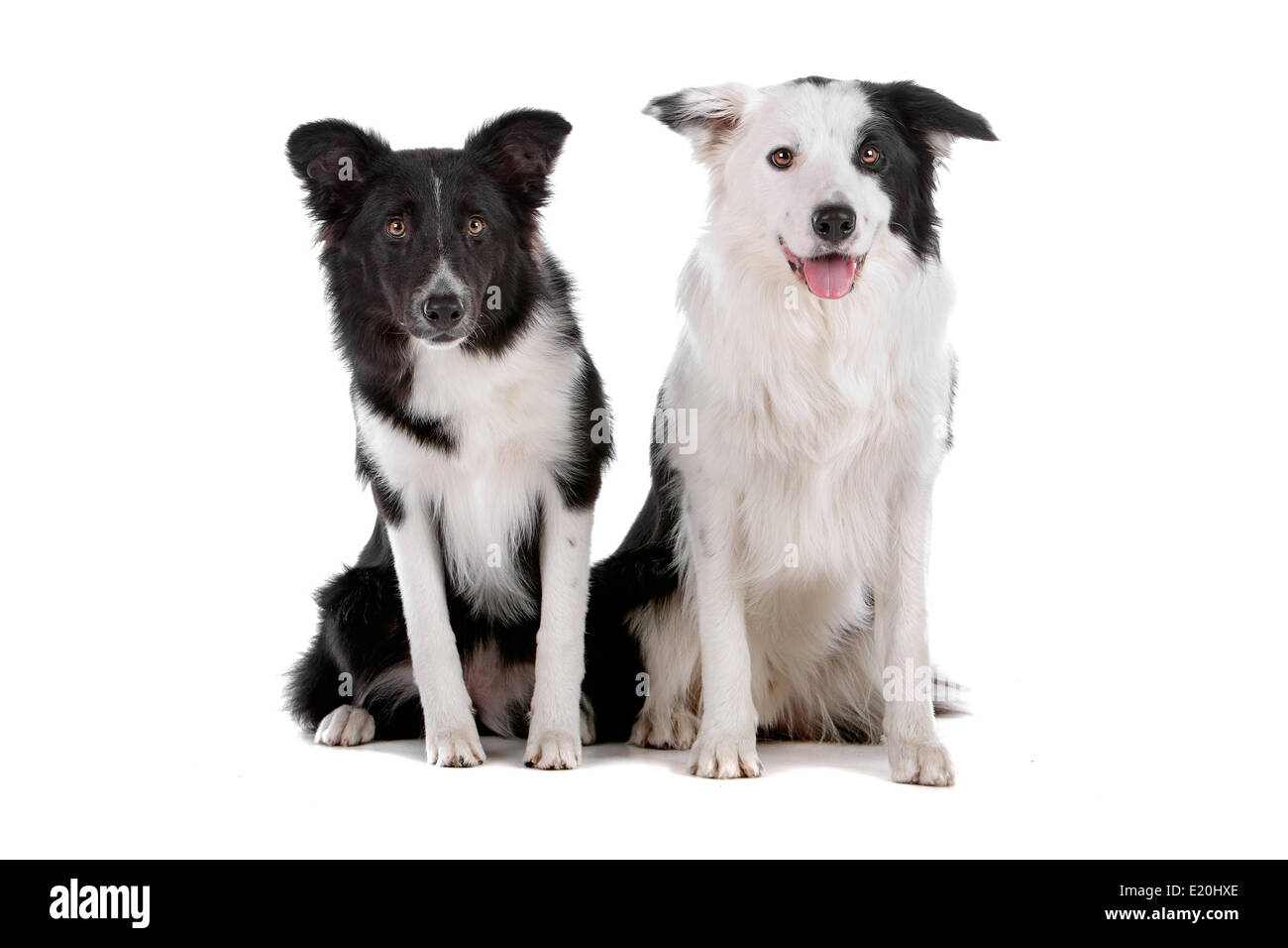 two border collie sheepdogs - Stock Image