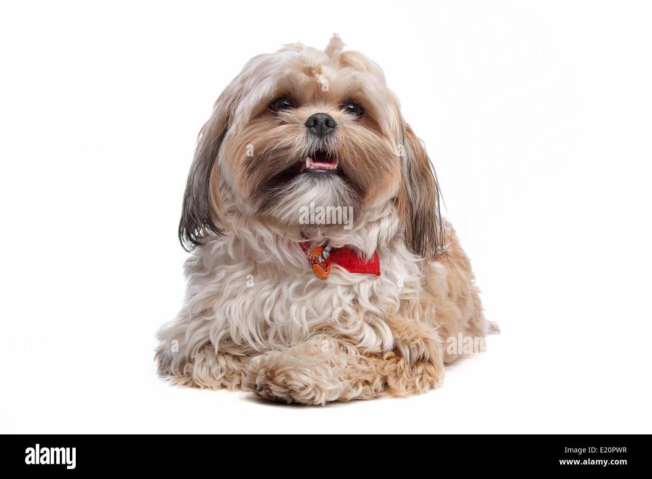 boomer, mixed breed dog Stock Photo