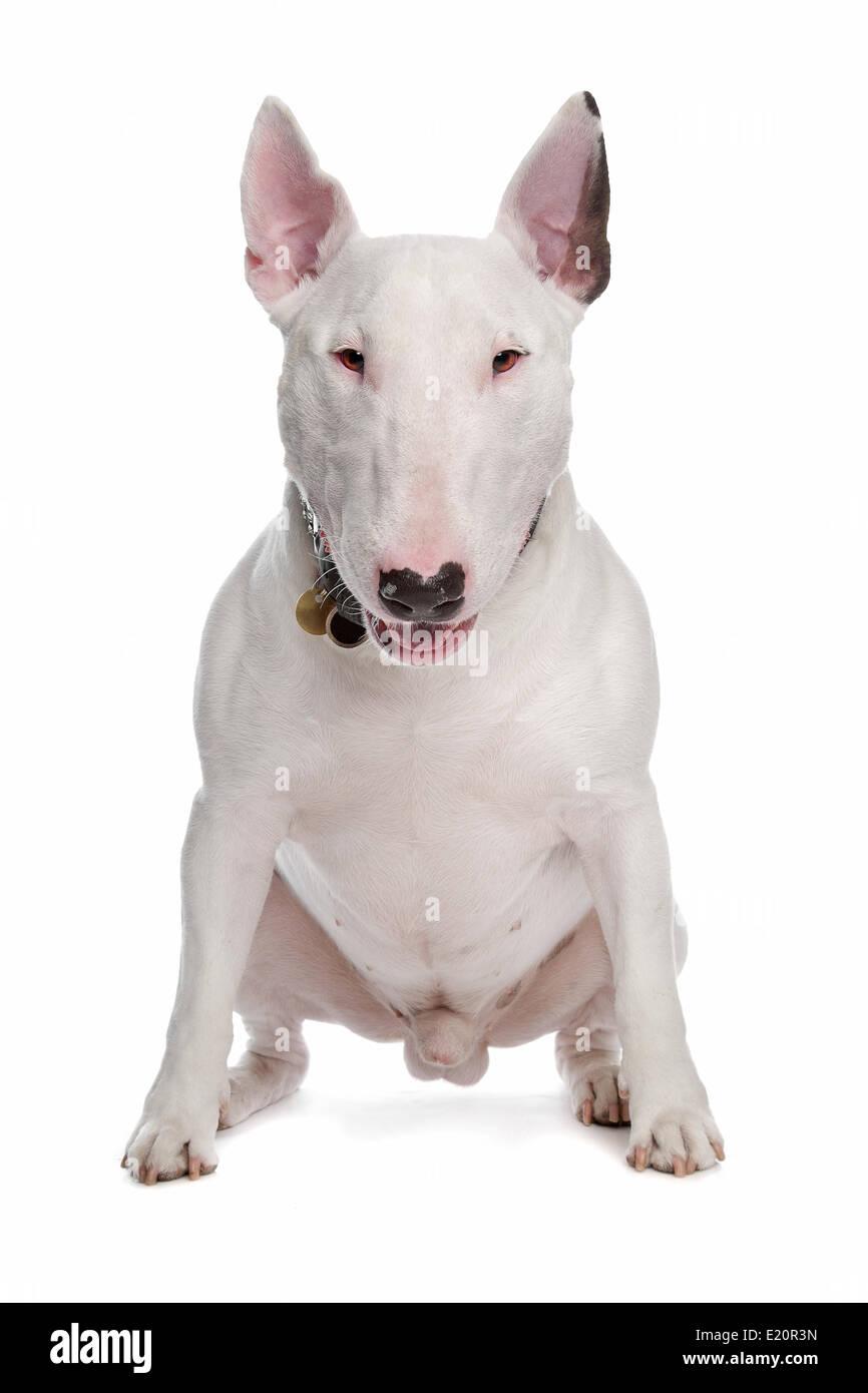 bull terrier - Stock Image