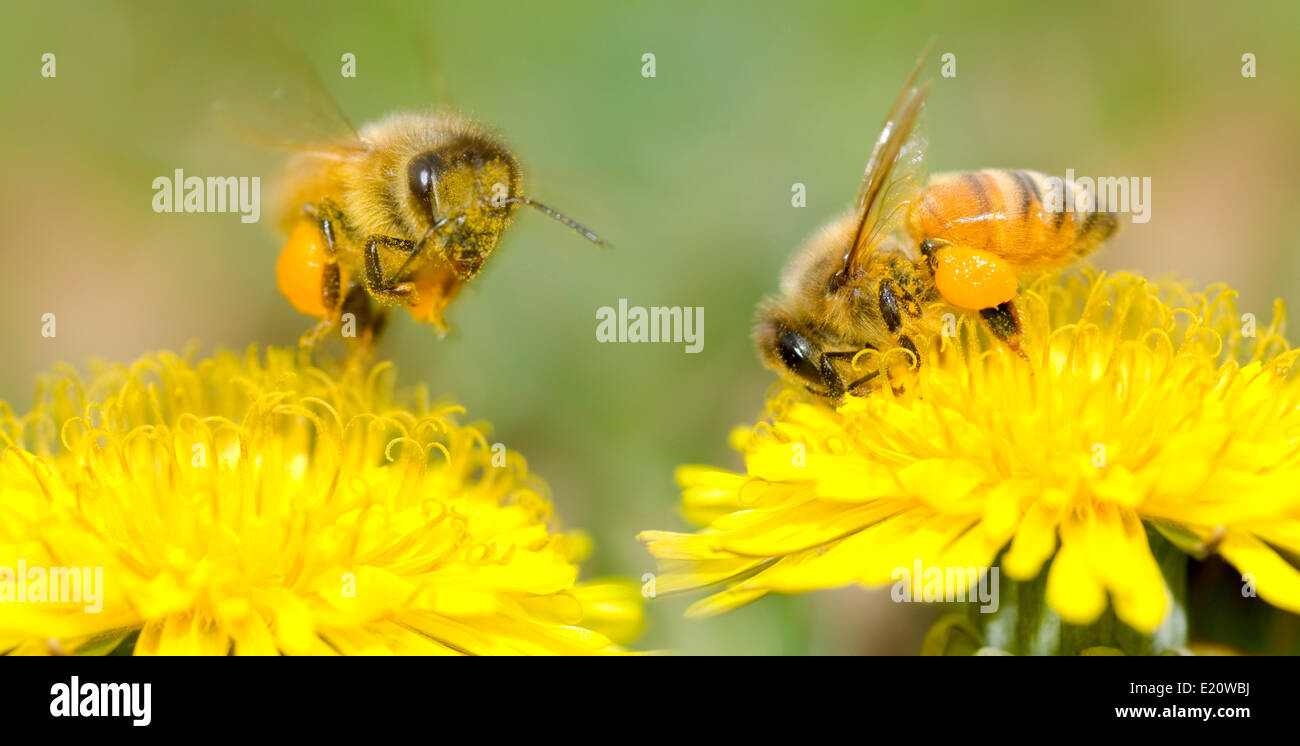 Two Bees and dandelion flower - Stock Image