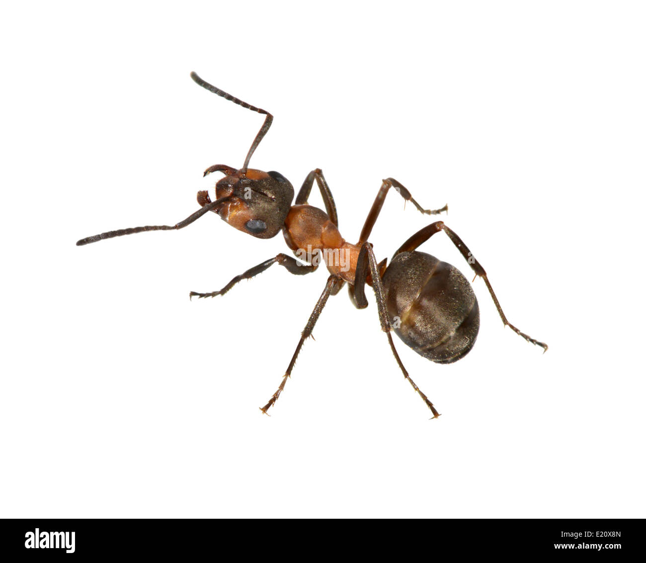 Wood Ant - Formica rufa Stock Photo