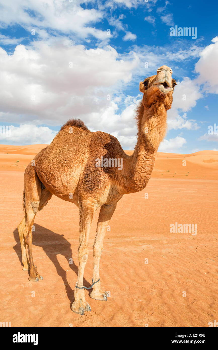 Image of camel in desert Wahiba Oman Stock Photo