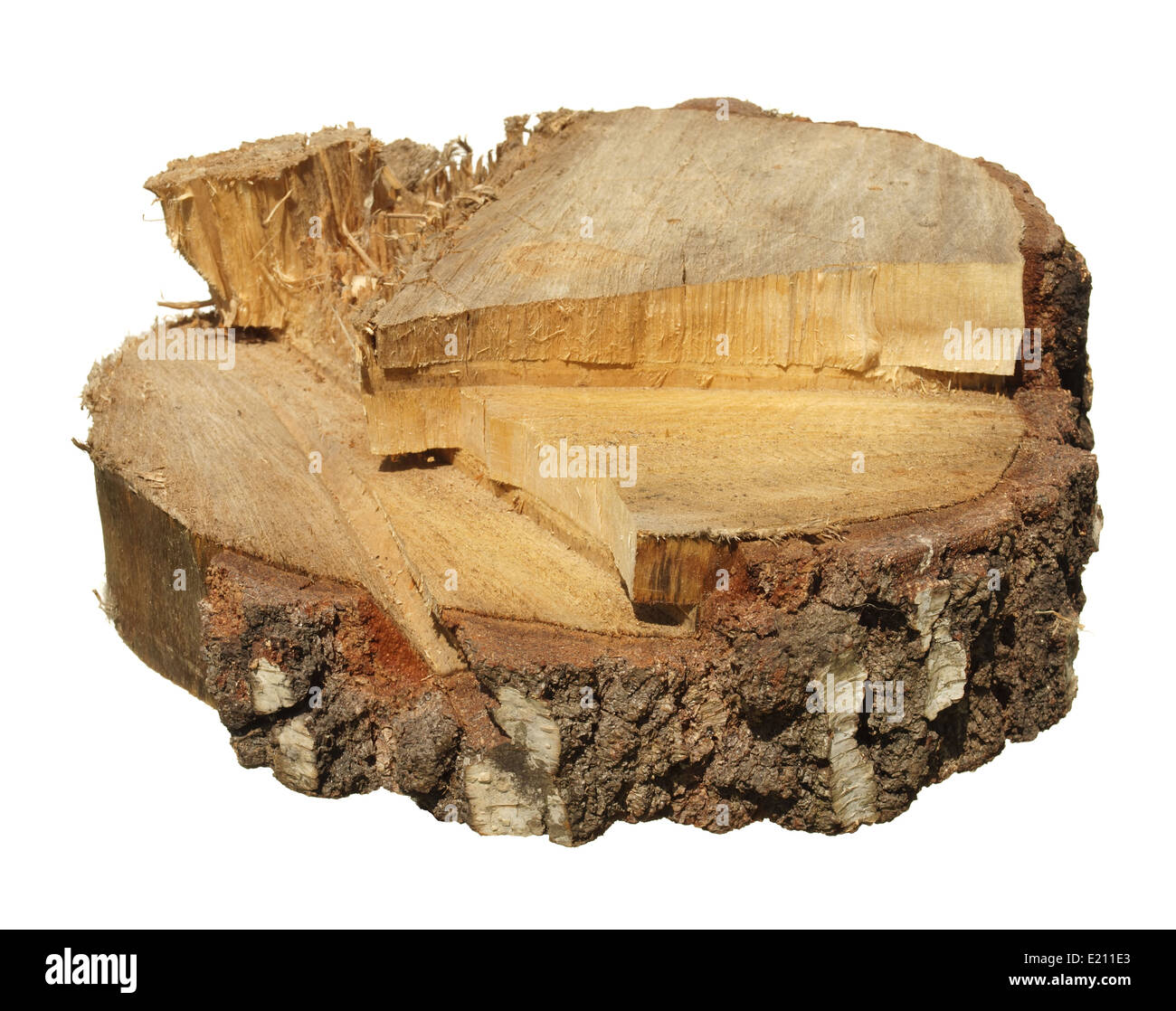 Piece of tree trunk isolated on white background - Stock Image