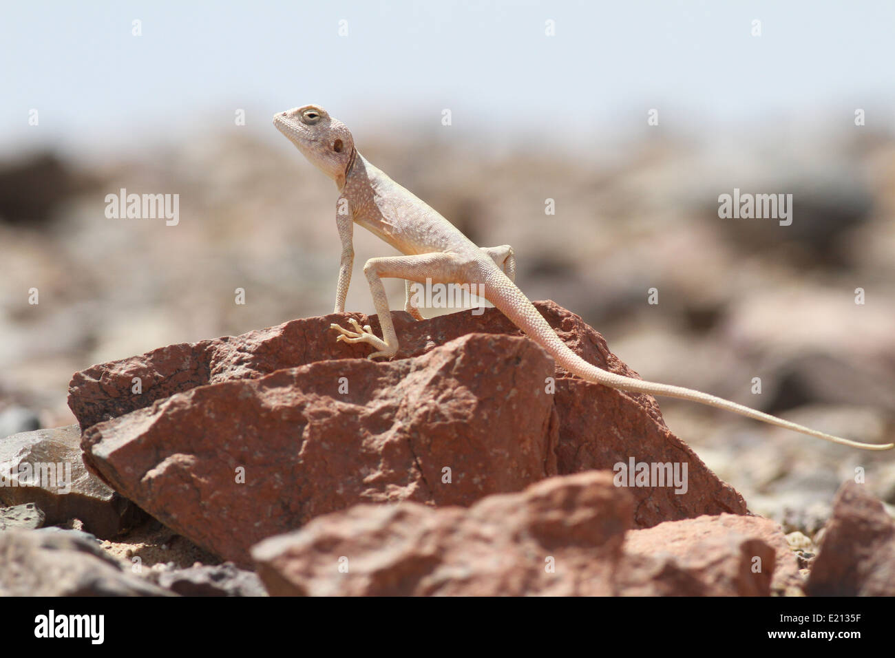 Sinai Agama Basking - Stock Image