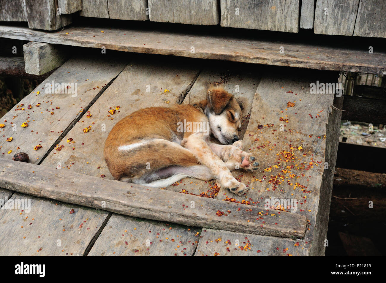 Sleeping dog - Traditional house in Industria - PANGUANA . Department of Loreto .PERU - Stock Image