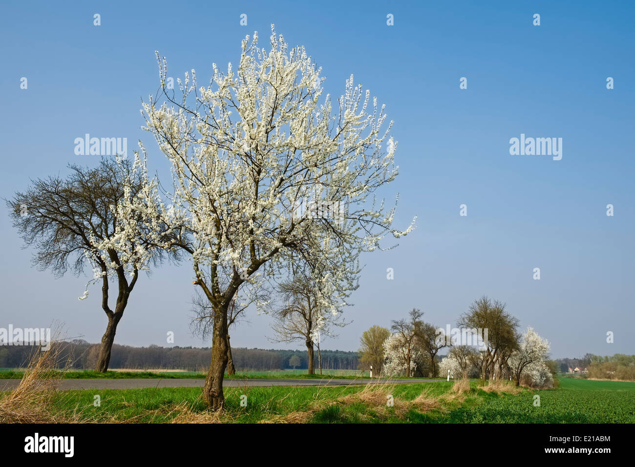 Blooming trees at country road, Brandenburg Germany - Stock Image