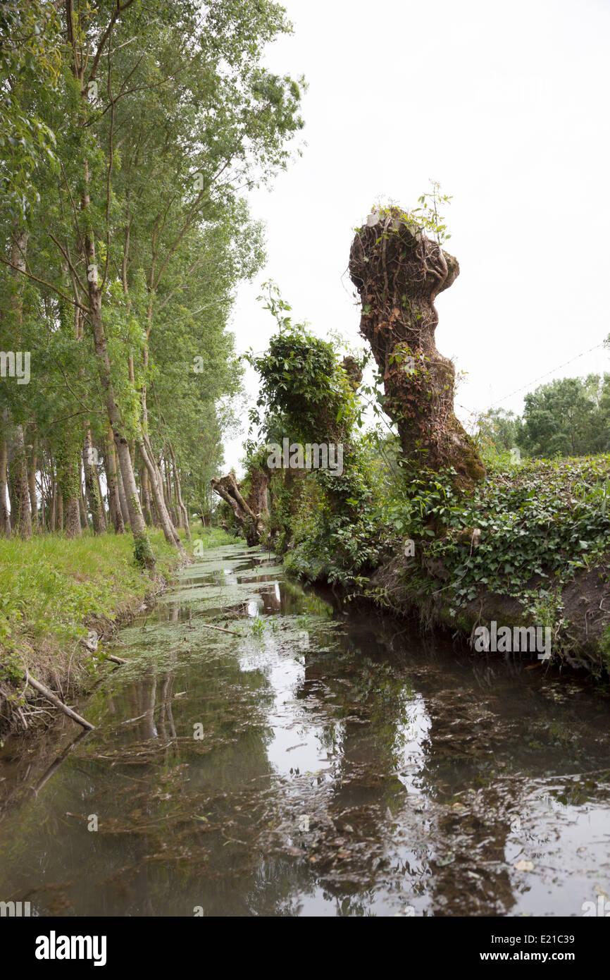 In the Marais Poitevin, a row of pollarded ash trees along a small canal. Rangée de frênes têtards - Stock Image