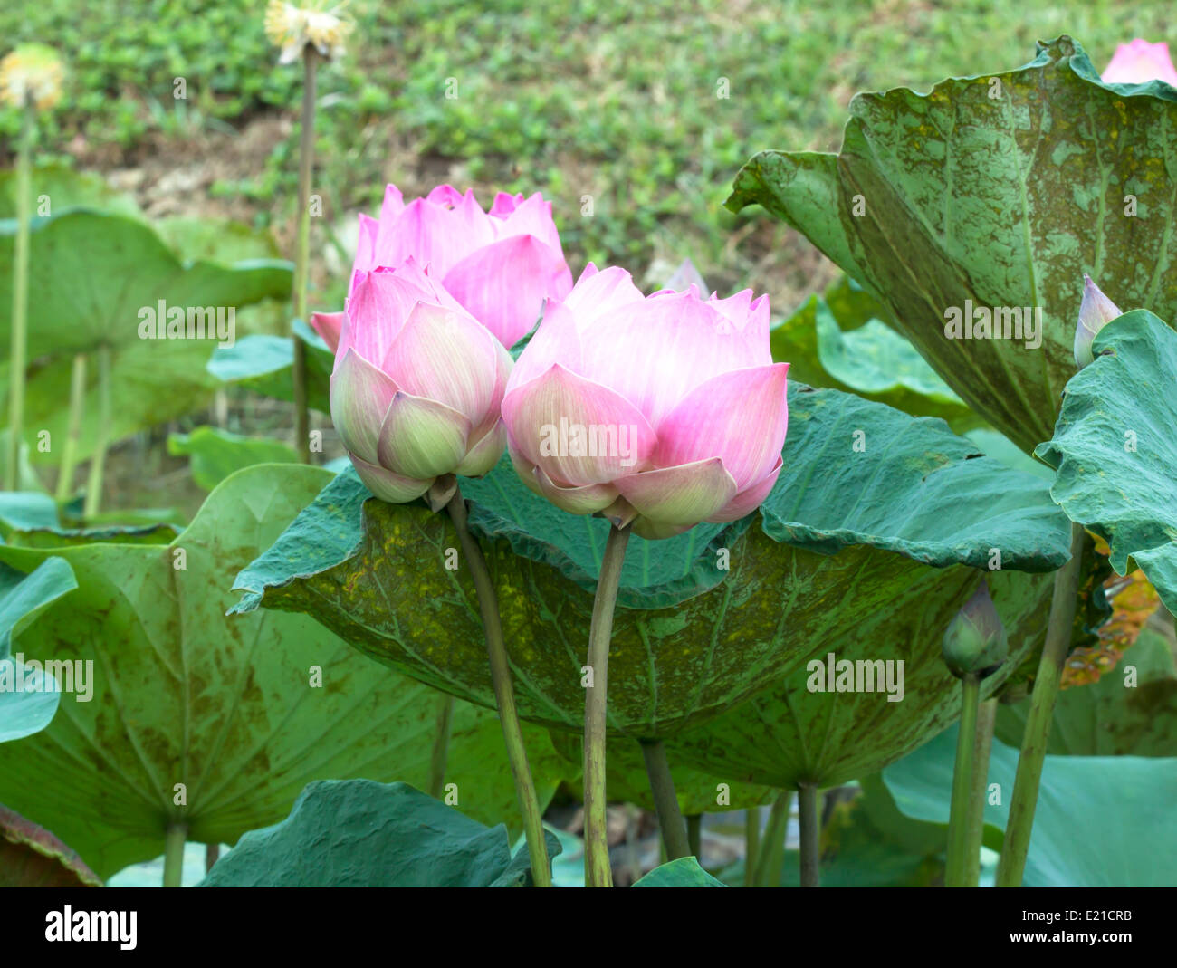 Pink Lotus Flower Blooming Stock Photos Pink Lotus Flower Blooming
