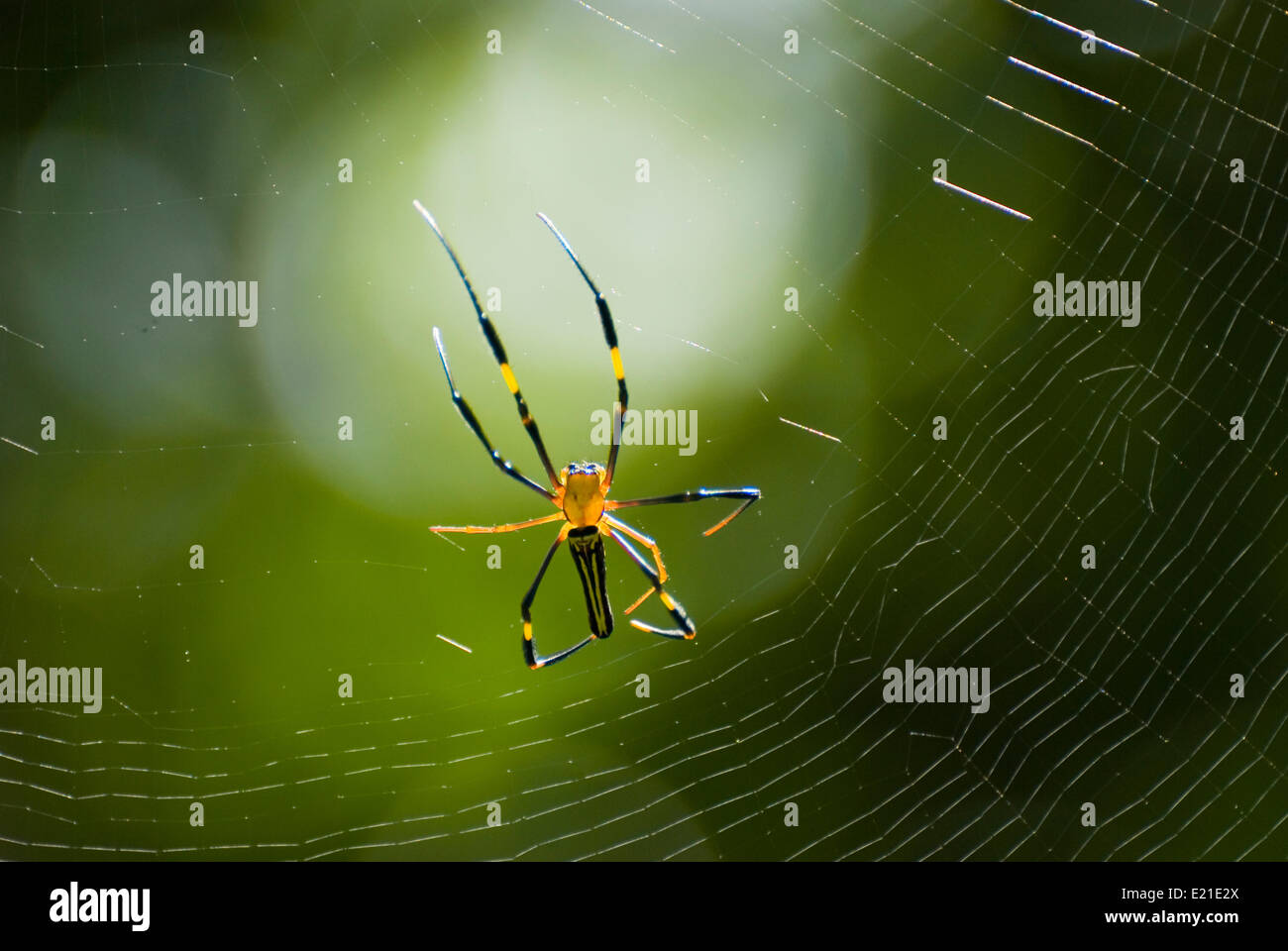 Spider and web with green background - Stock Image
