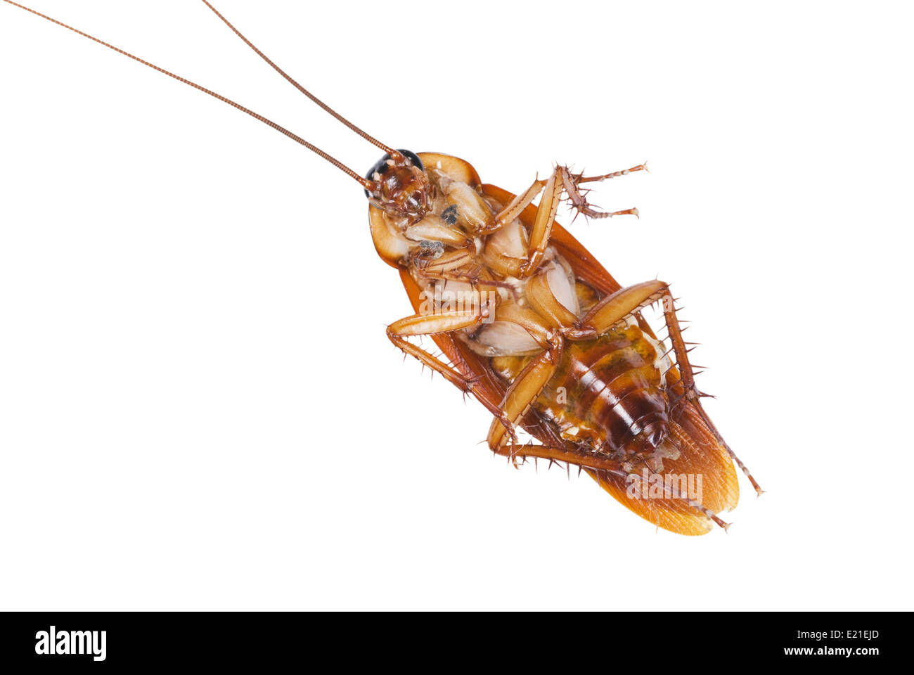 Cockroach be killed a moment ago. - Stock Image