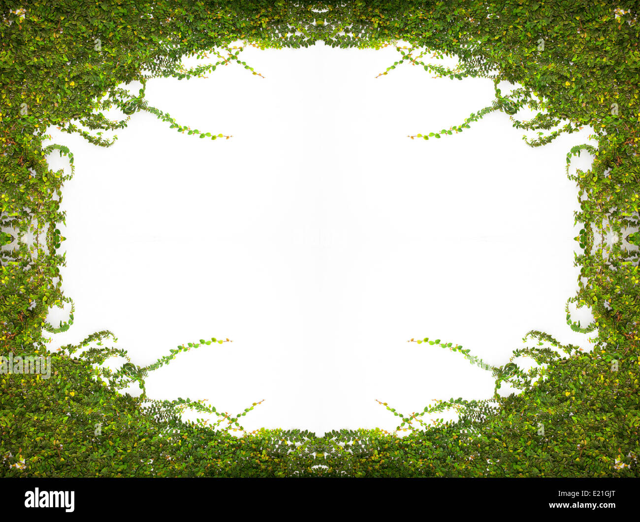 Frame The Green Creeper Plant on the Wall - Stock Image