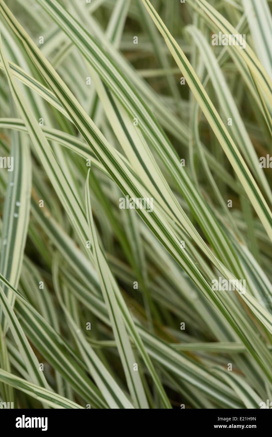 Bulbous oat grass 'Variegatum' - Stock Image