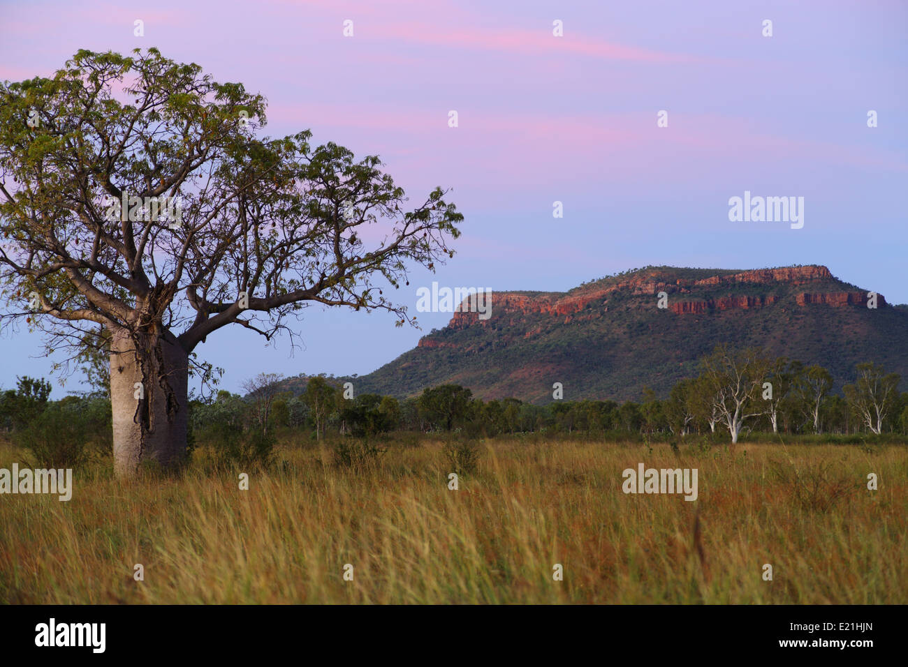 A regular Kimberley scene, seen at dusk - a boab tree and geologic outcrop, near the Ord River near Kununurra, Western - Stock Image