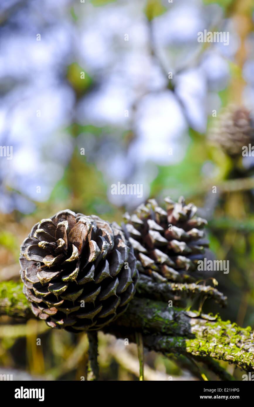 Conifer cone - Stock Image