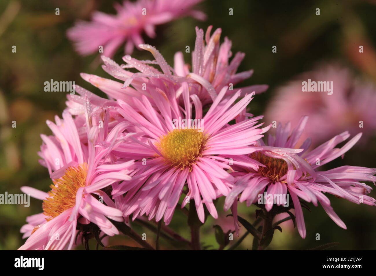 New England Aster 'Rosa Sieger' - Stock Image