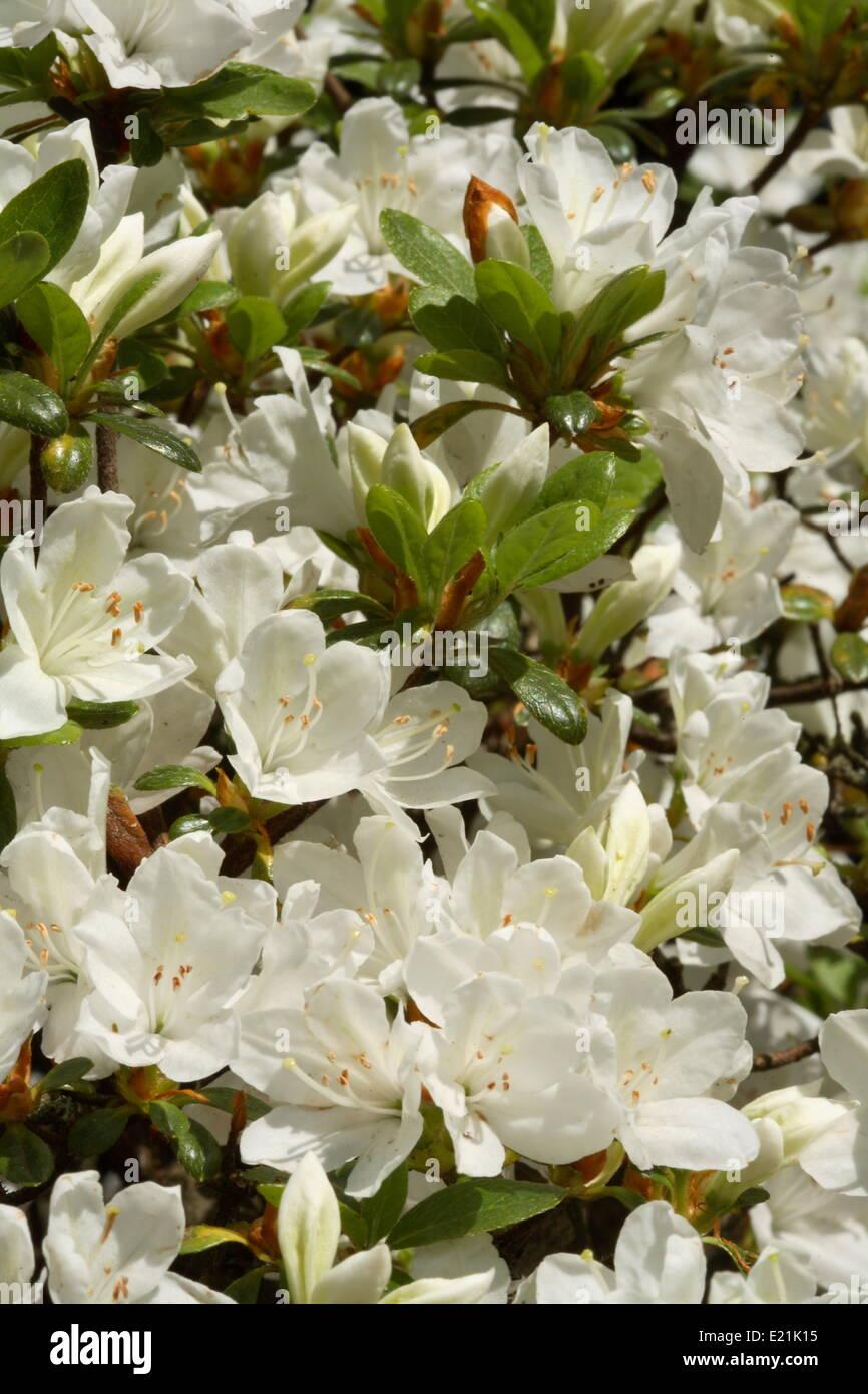 Japanese Azalea 'Diamant Weiß' - Stock Image