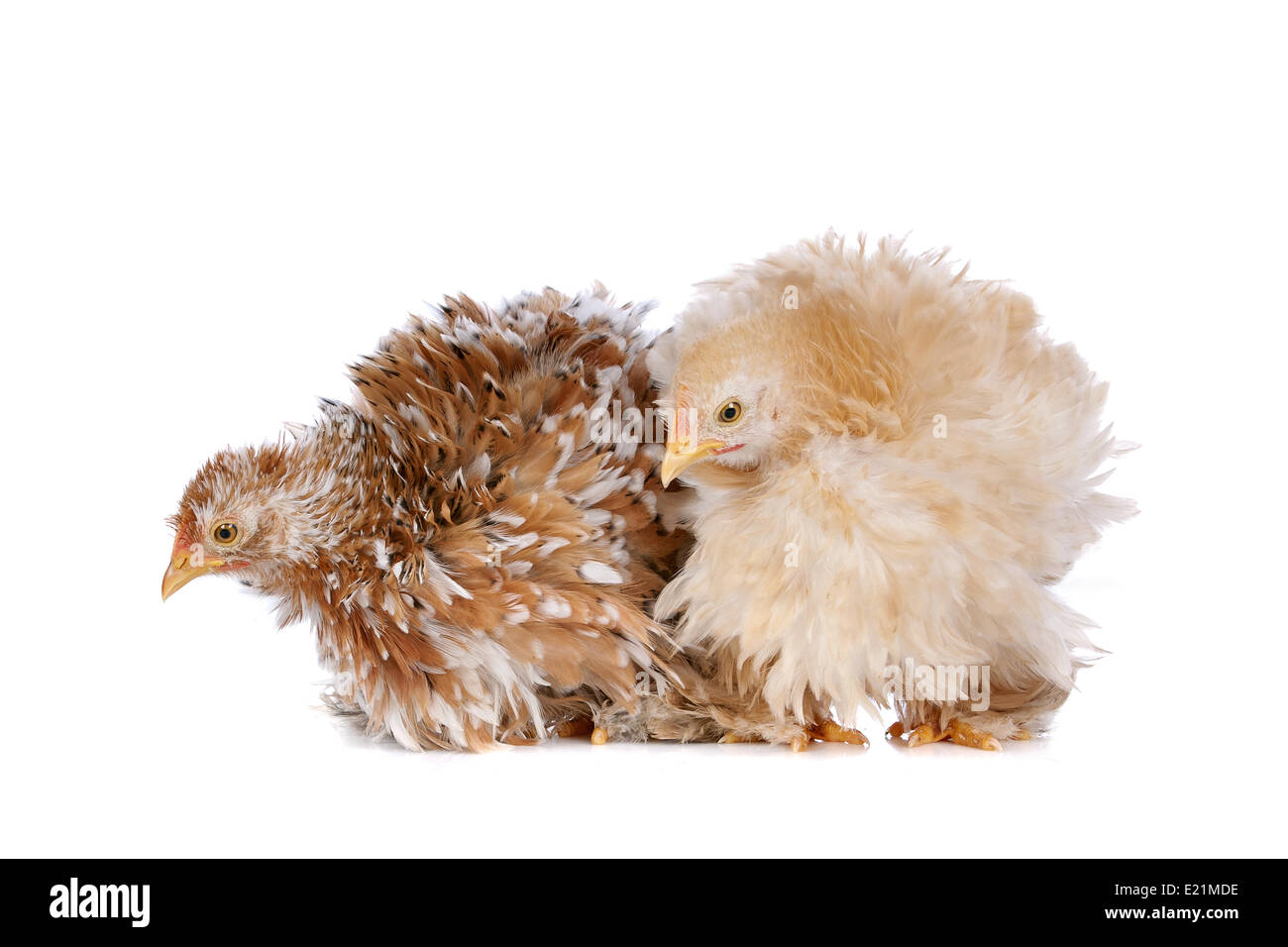 Two chickens - Stock Image