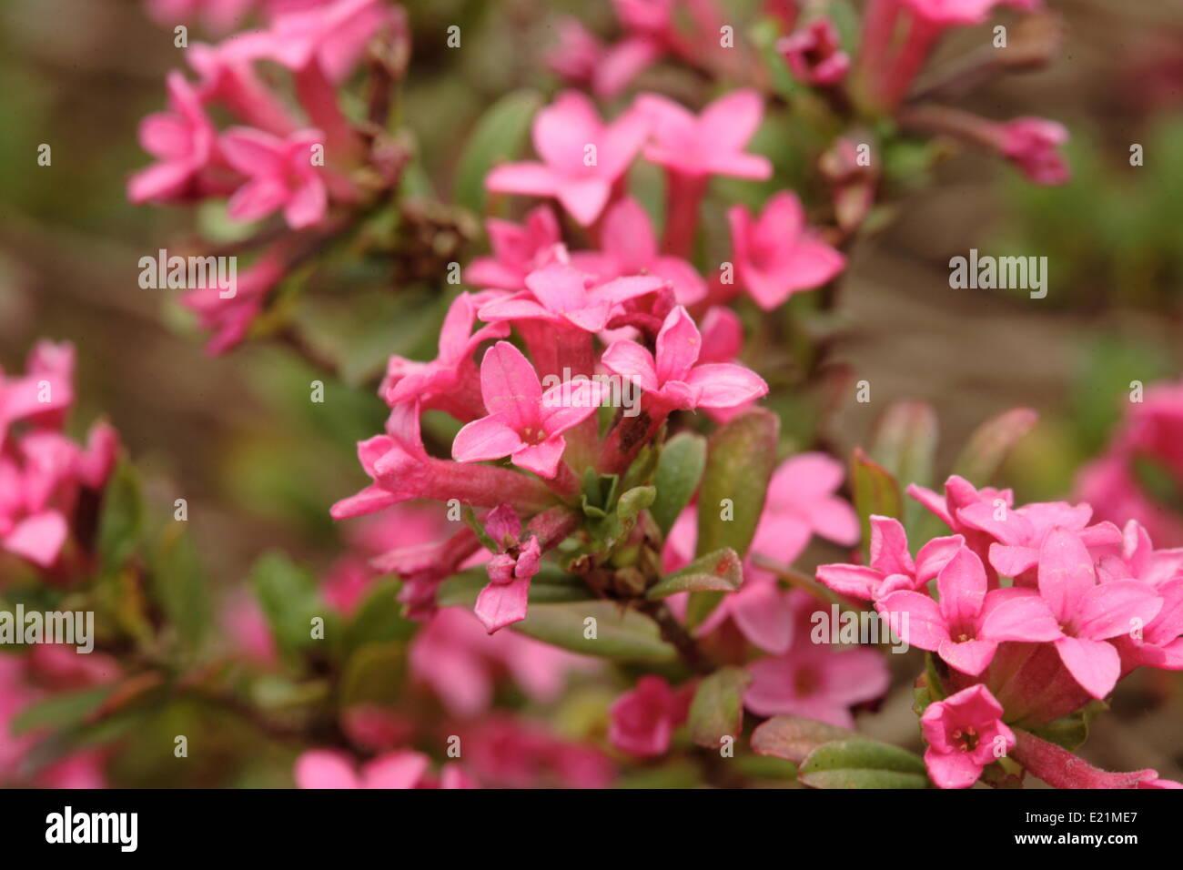 Rose daphne - Daphne cneorum - Stock Image