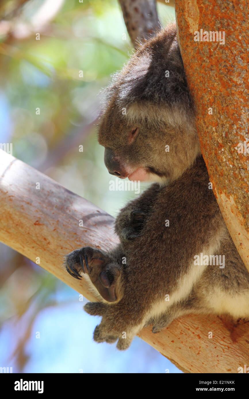 A koala, Phascolarctos cinereus, napping in eucalyptus tree in Australia. - Stock Image
