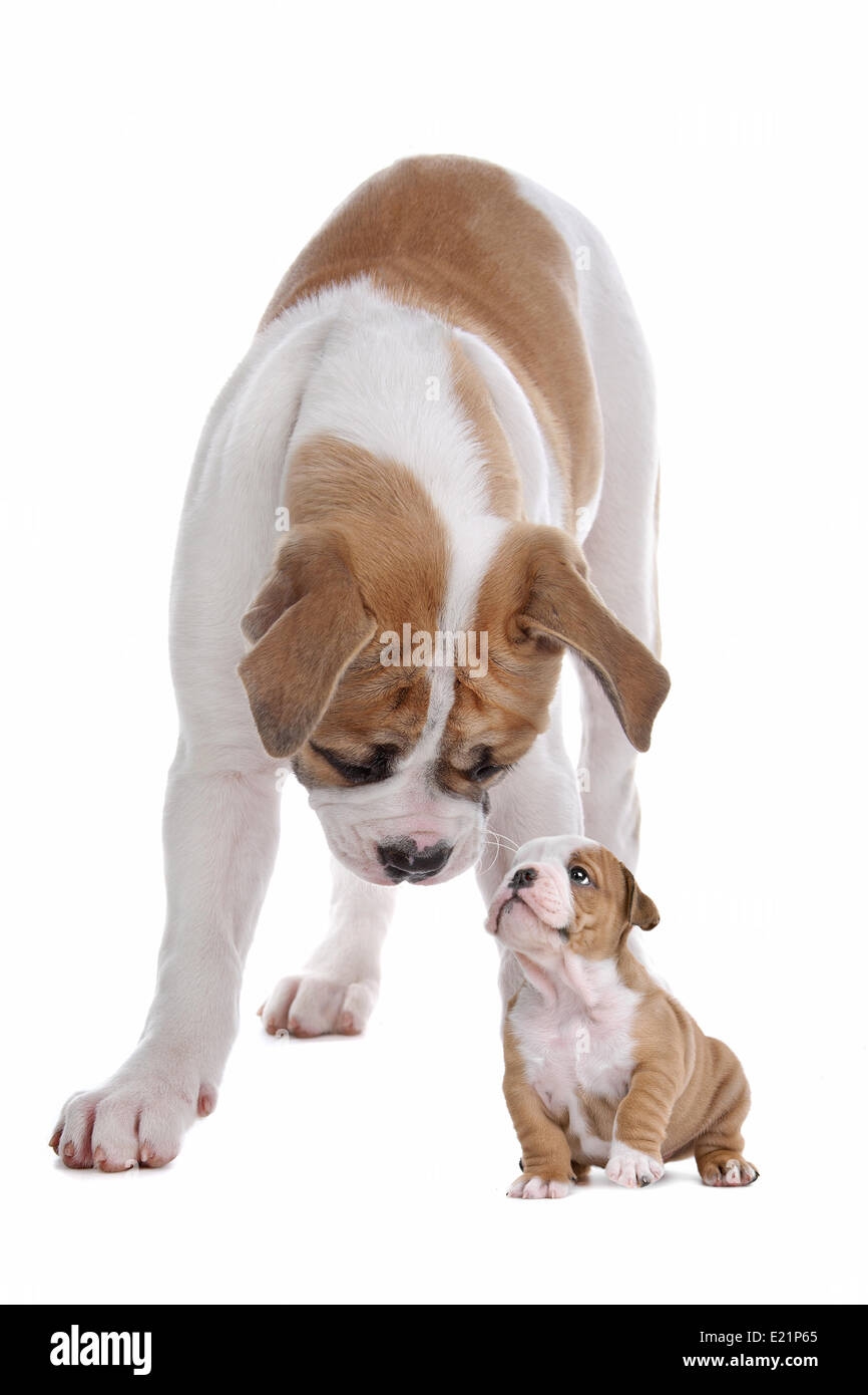 big dog small puppy - Stock Image
