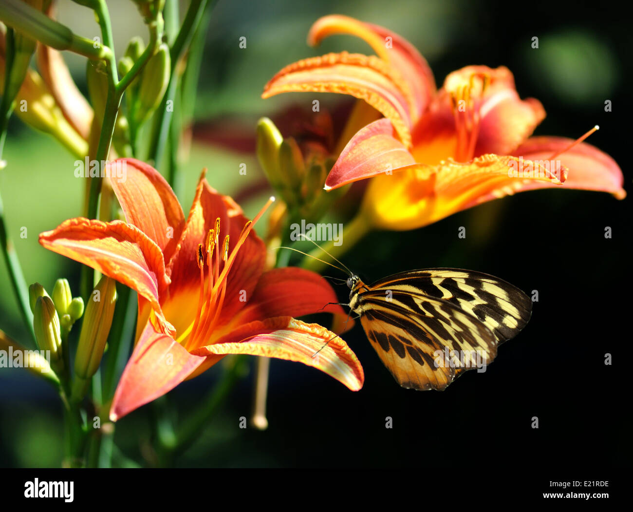 bef199f4e butterfly on a lily flower Stock Photo: 70111146 - Alamy