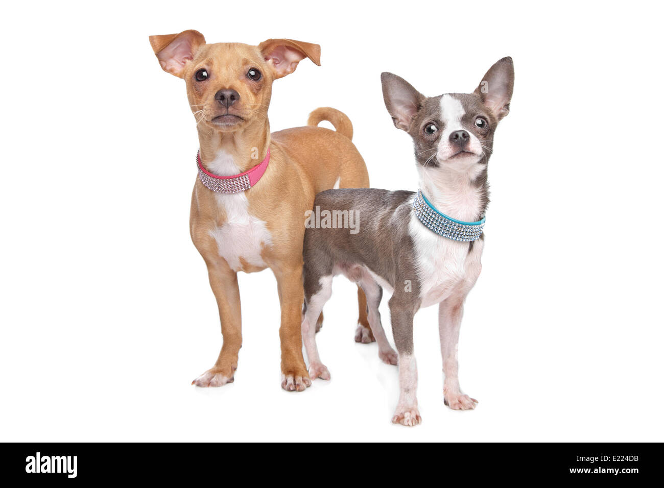 chihuahua and a mix miniature pincher - Stock Image