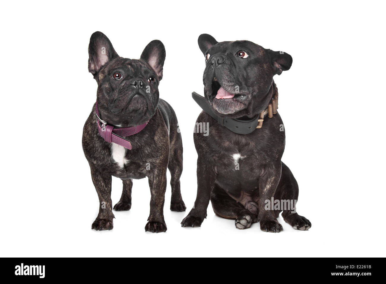 Two Dark Brown French Bulldogs Stock Photo 70119431 Alamy
