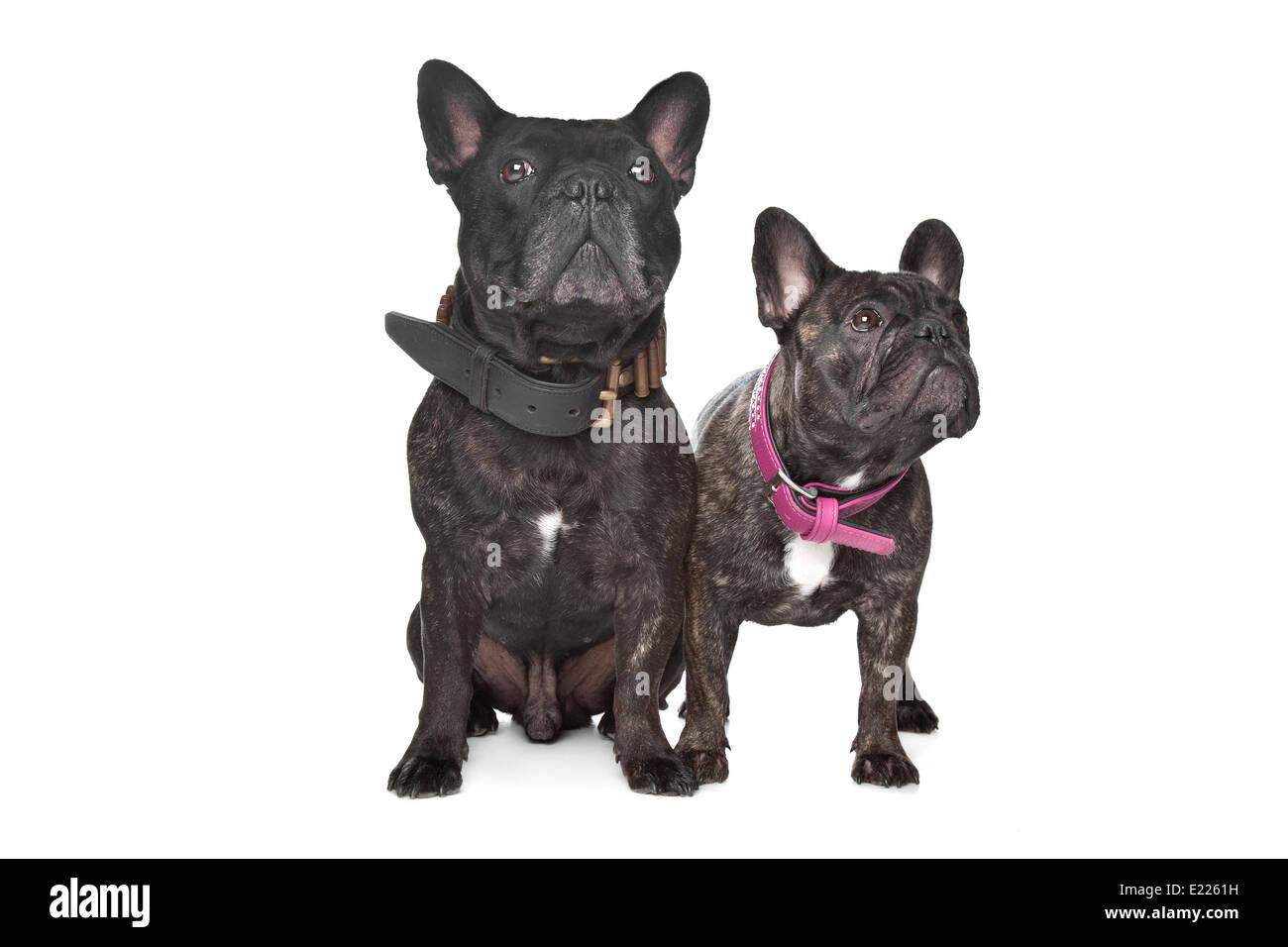 Two Dark Brown French Bulldogs Stock Photo 70119437 Alamy