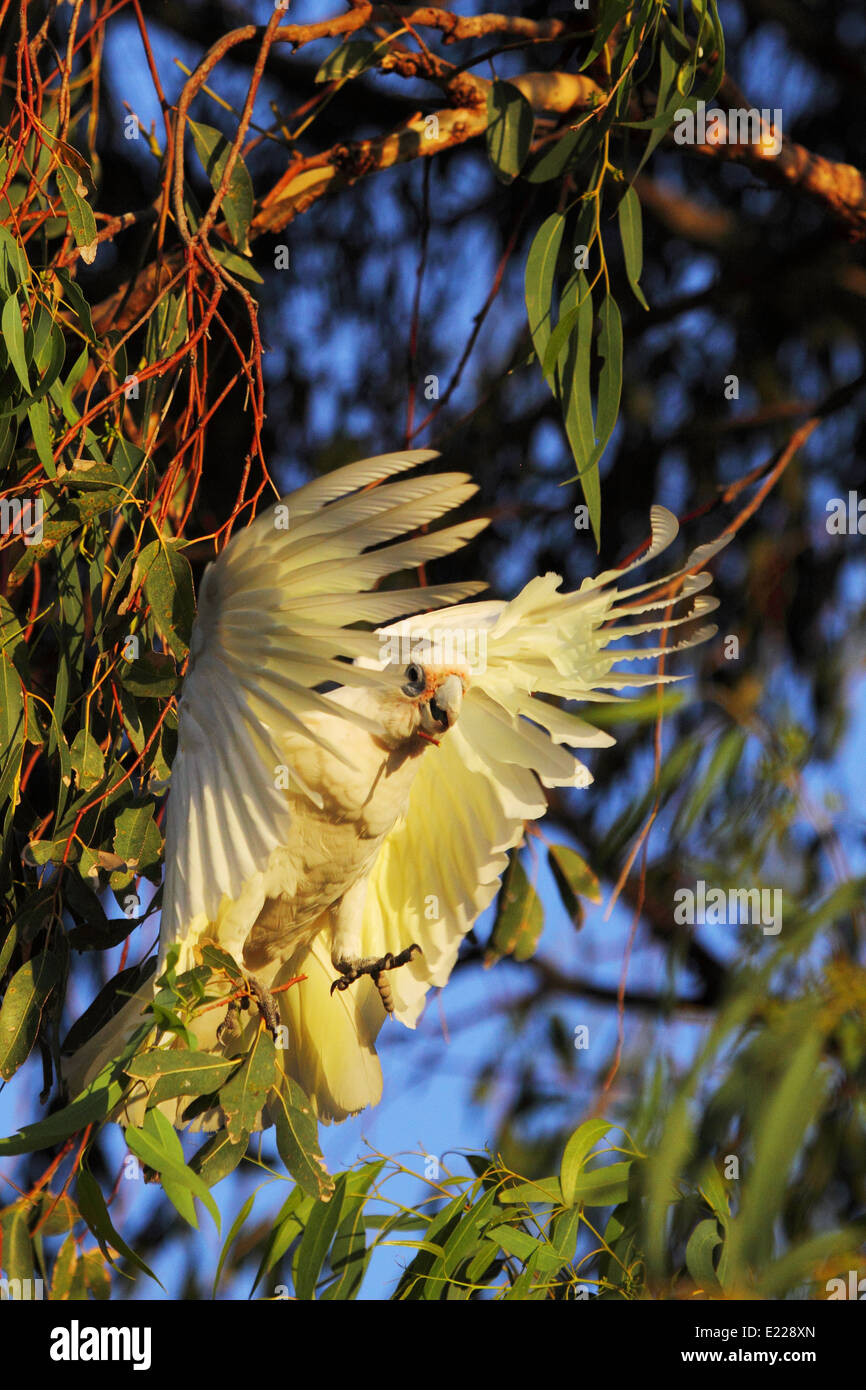 After hanging inverted to forage in this eucalyptus tree, a Little Corella takes flight - Perth, Western Australia. Stock Photo