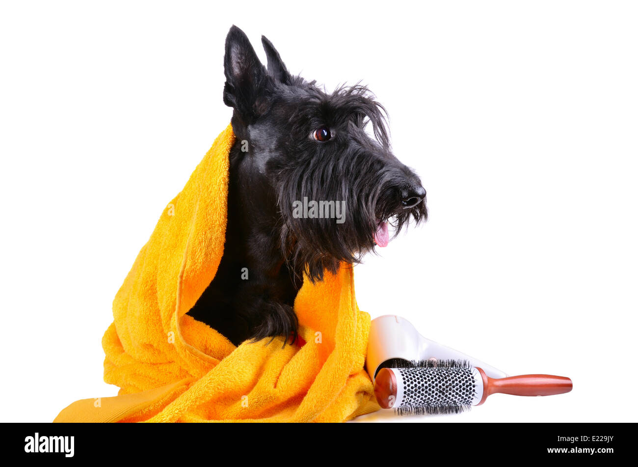 Dog after bath - Stock Image