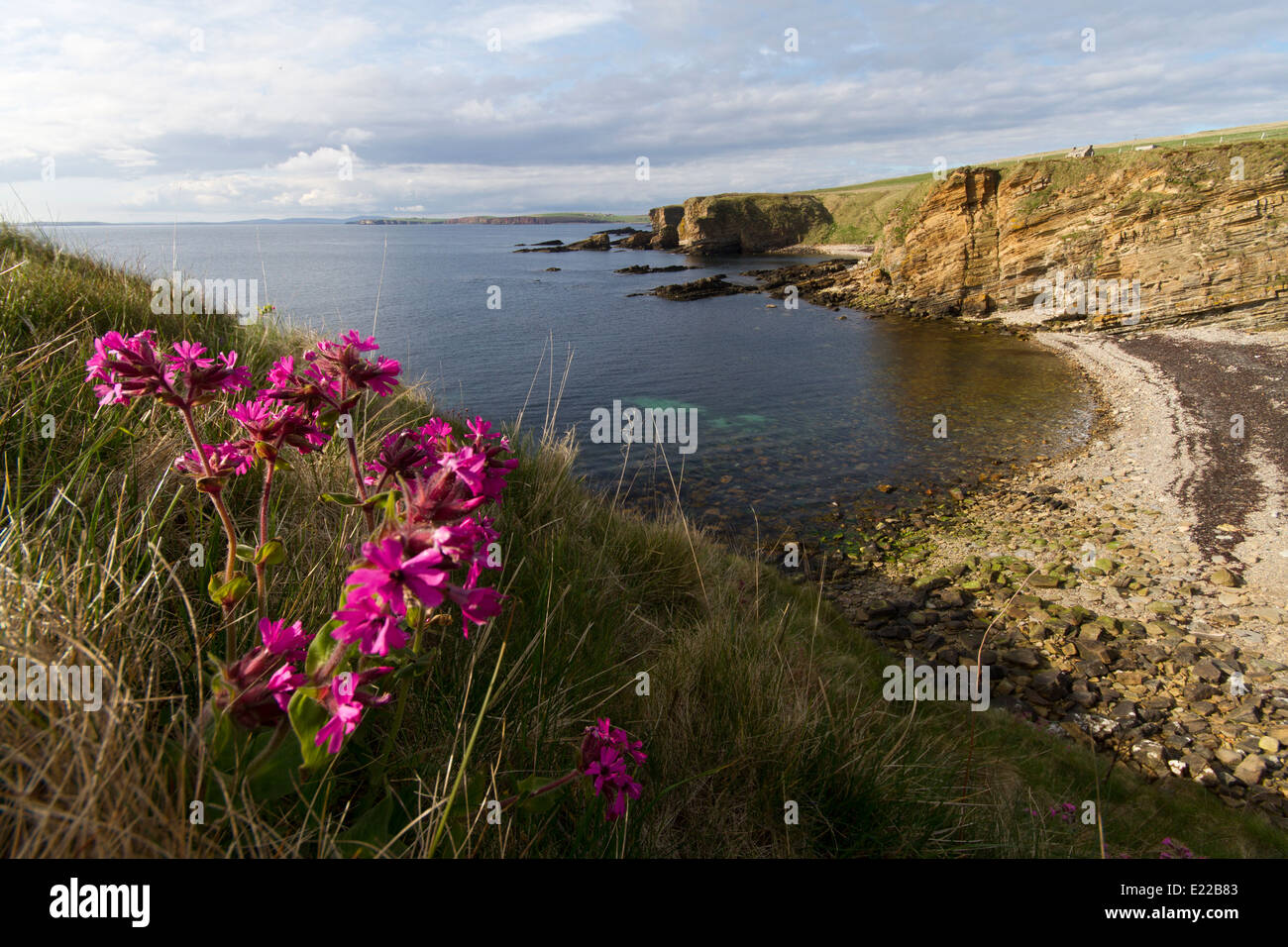 Red Campion along Orkney coast Stock Photo