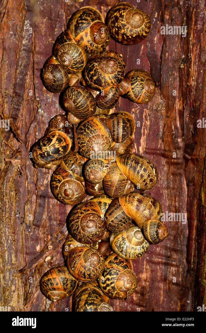 huddle of hibernating snails in a tree cleft - Stock Image