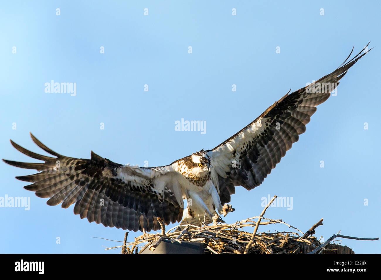 Osprey flying from nest, Pandion haliaetus, sea hawk, fish eagle, river hawk, fish hawk, raptor, Chaffee County, Stock Photo