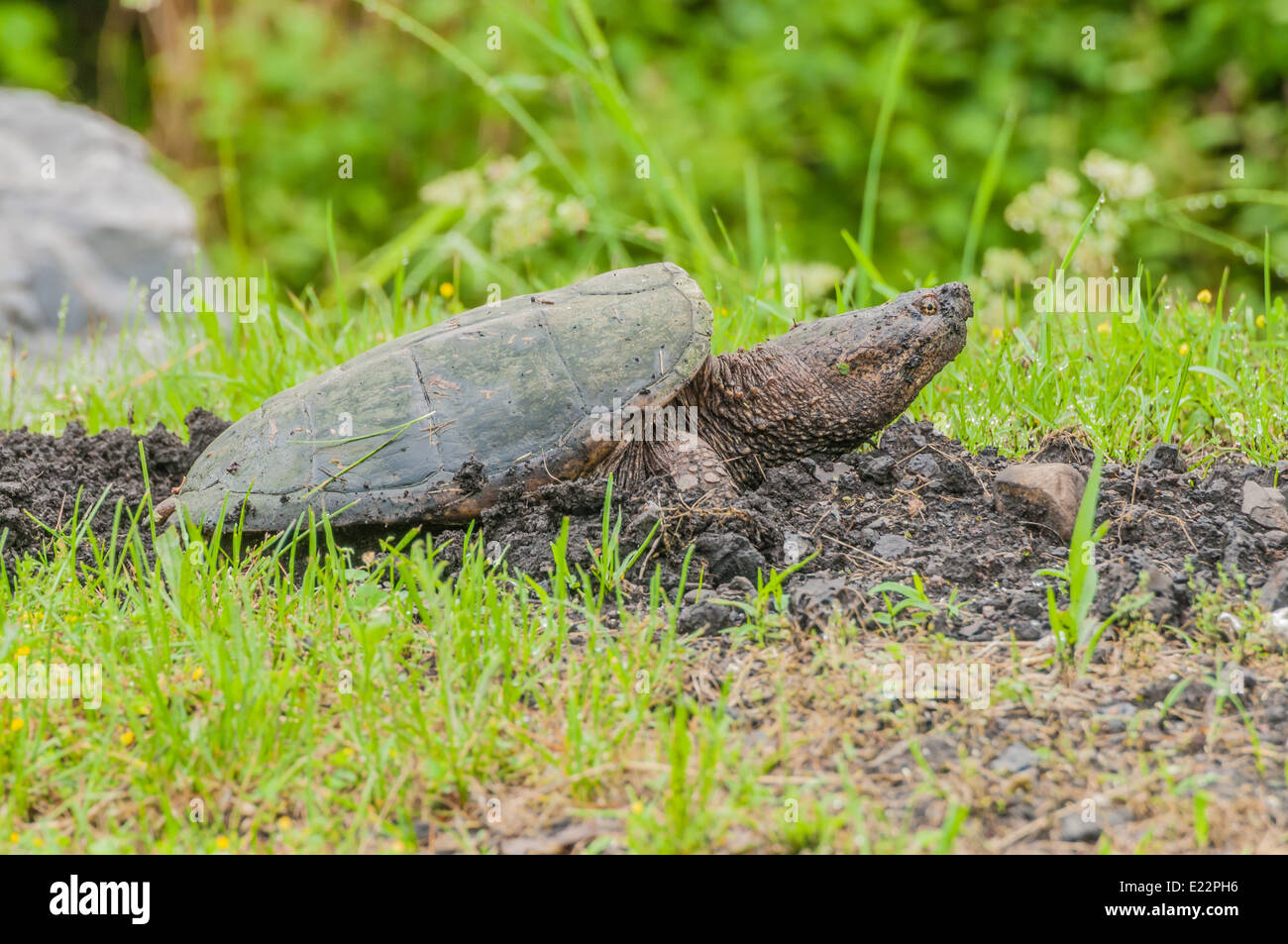 Snapping Turtle laying eggs in a hole she dug out in late spring. Stock Photo