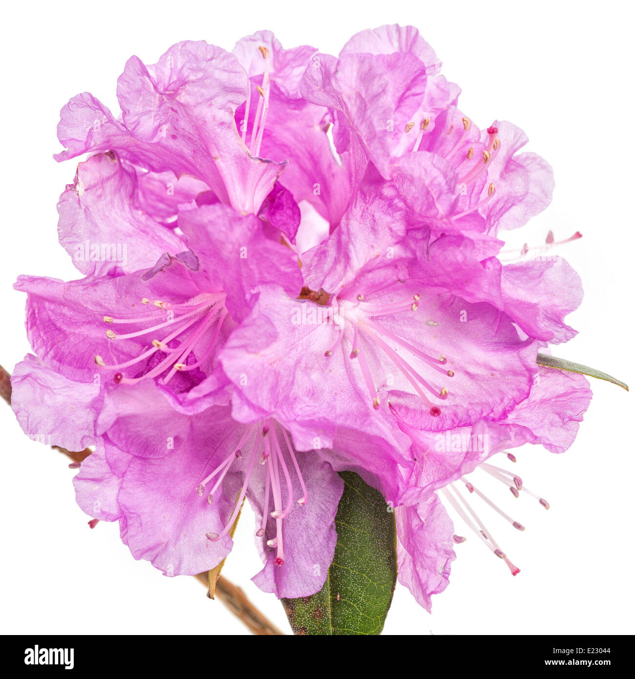Flowers of the early flowering northern shrub, the PJM Rhododendron in a studio setting. - Stock Image